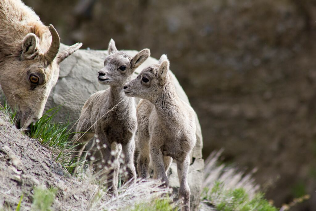 Bighorn sheep babies in Yellowstone National Park