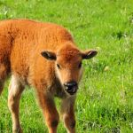 Bison calf in the grass