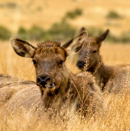 Two Elk sitting in the grass