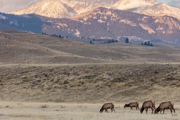 Elk grazing near the North Entrance at sunrise