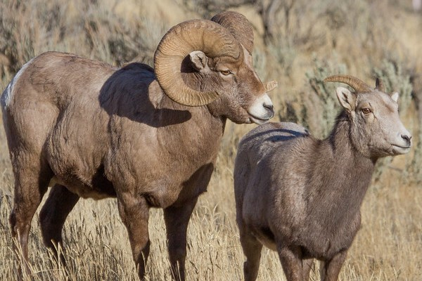 Ram and ewe bighorn sheep