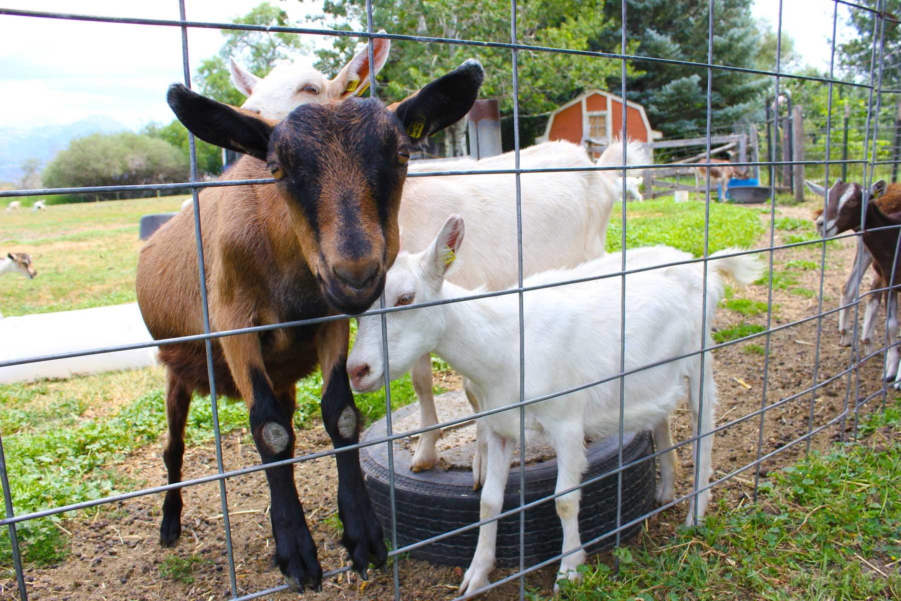 Amaltheia Organic Dairy Farm