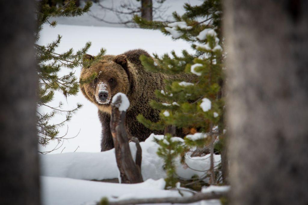 Grizzly bear near Canyon