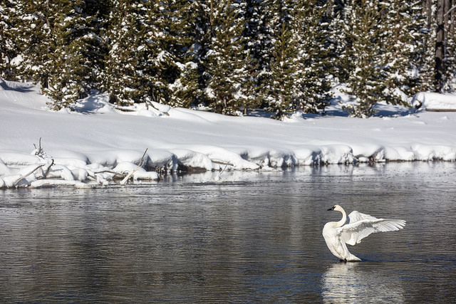 Trumpeter Swan on the Firehole River (2)