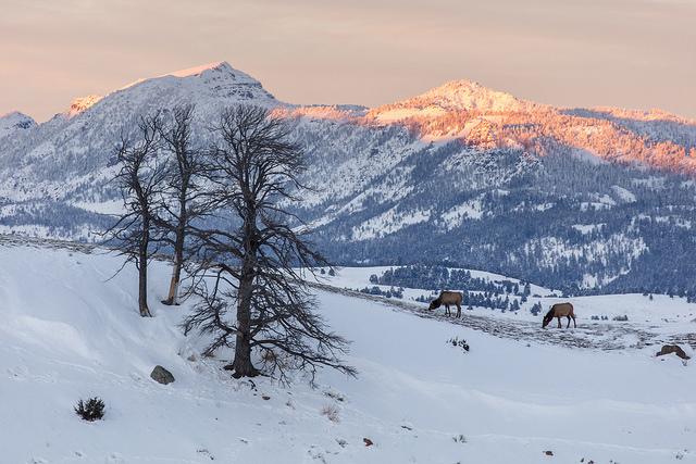 Two elk grazing a ridge during sunset