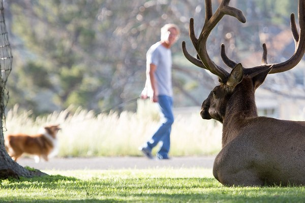 Bull elk in grass at Mammoth Hot Springs and man walking dog in the background