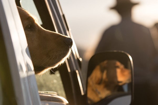 Dog waiting in car, Lamar Valley