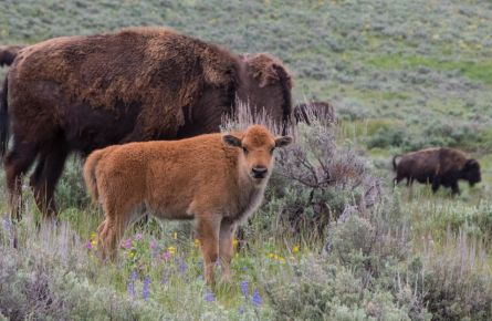 3 Insider's Tips for Visiting Yellowstone in Spring