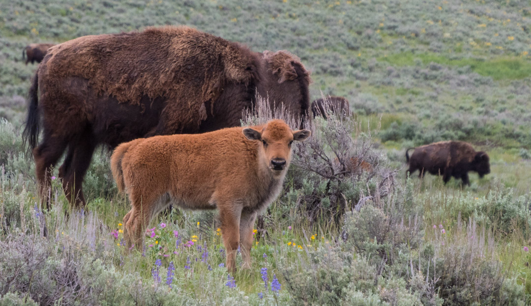 "Baby bison (aka ""red dog""),"