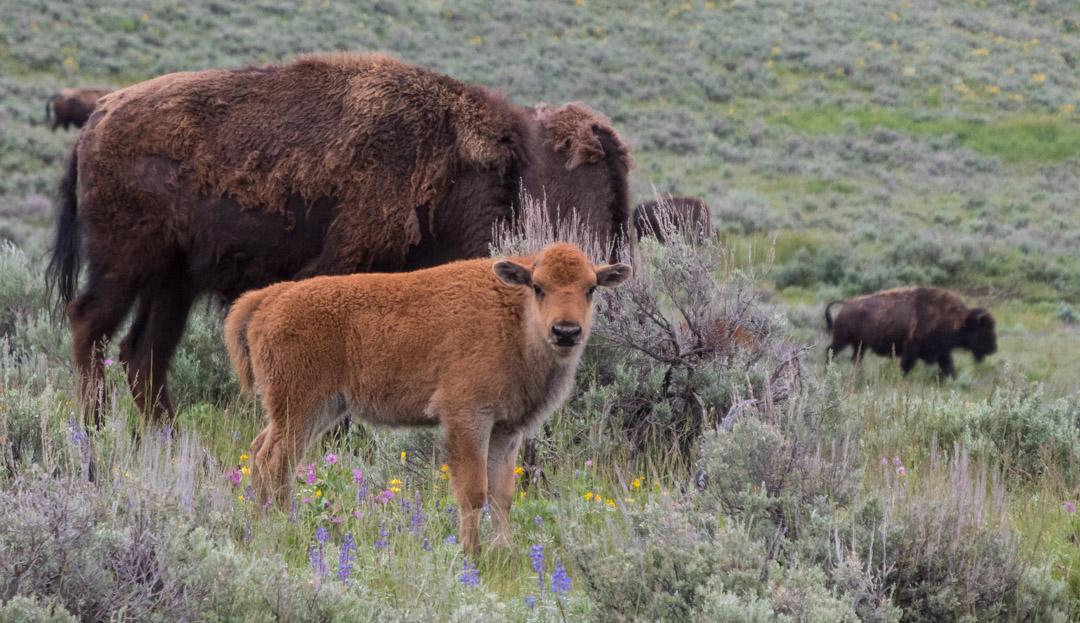 "Baby bison (aka ""red dog""),"
