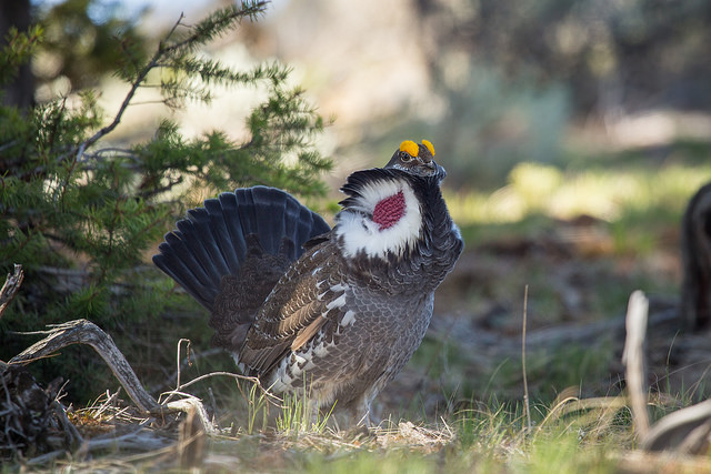 Male Blue Grouse Displaying
