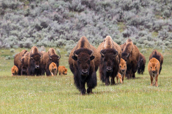 Bison herd with calves in Lamar Valley
