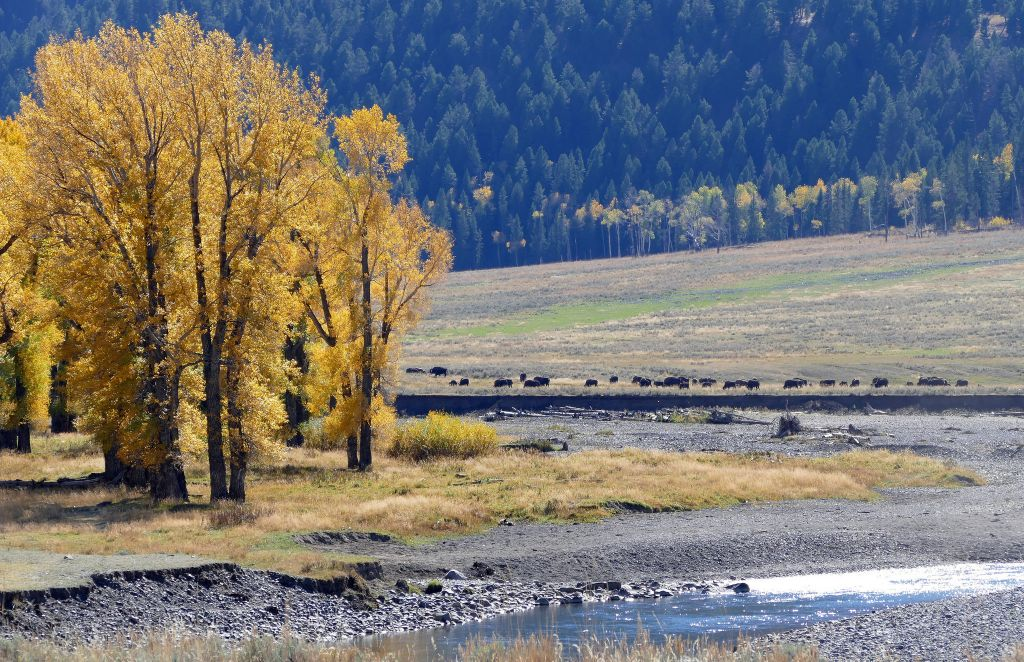 Cottonwoods and bison along the Lamar River