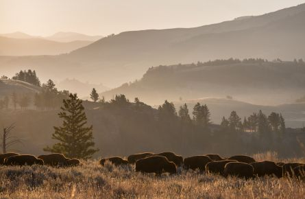 Bison herd, Lamar Valley