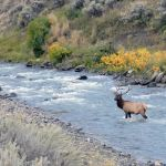 Bull elk in Gardner River