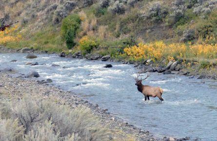 Bull elk in Gardner River