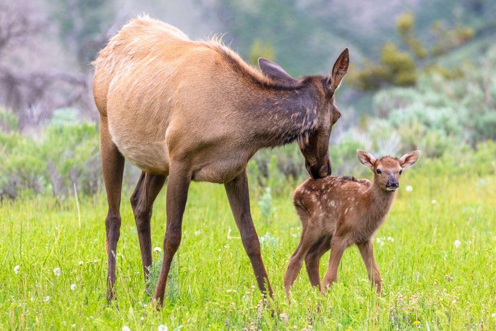 4 Tips for Staying Safe Around Newborn Elk