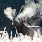 Bull elk bugling on a frosty morning in Canyon area