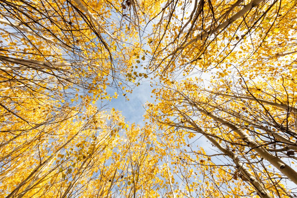 Looking up through the aspens