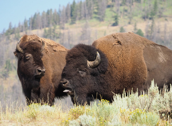 Bison Bellow during rut in Yellowstone