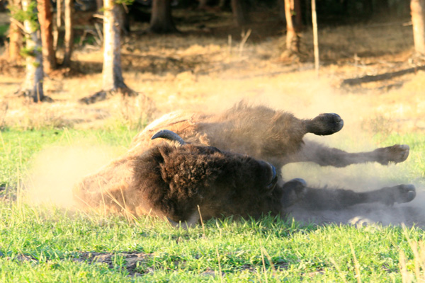 Bison wallow