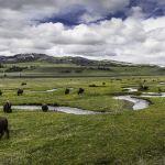 Bison on Rose Creek, Lamar Valley