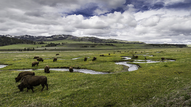 Bison on Rose Creek, Lamar Valley