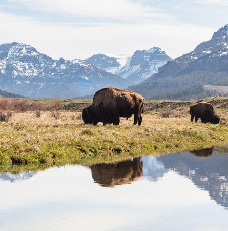 Yellowstone: Where the Bison Roam