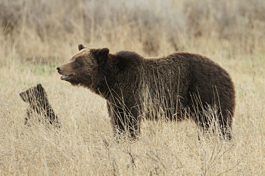Grizzly sow and cub near Fishing Bridge