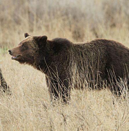 6 Yellowstone Weird Wildlife Facts