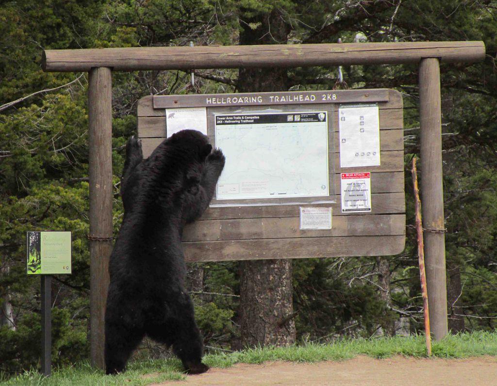 Black Bear on hind legs at Hellroaring Trailhead sign