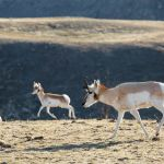 Pronghorn near the North Entrance
