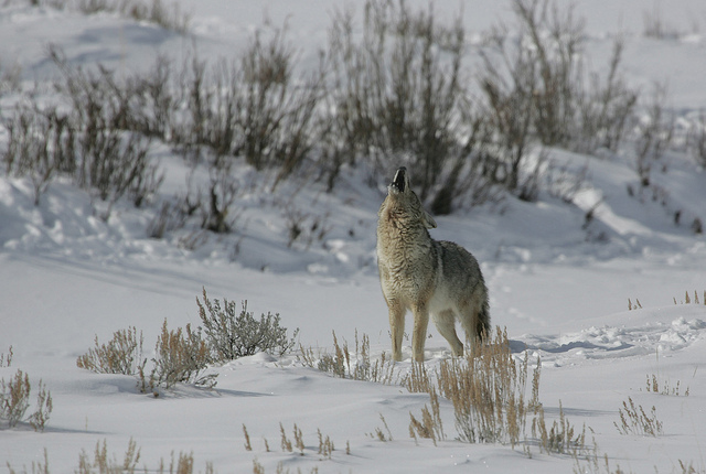 Coyote howling in Lamar Valley