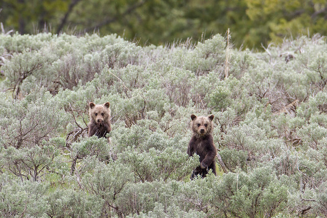Two grizzly cubs stand up in a field of sagebrush
