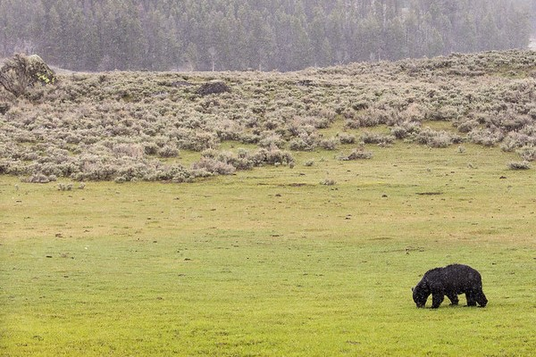Black bear on a snowy spring day in Lamar Valley