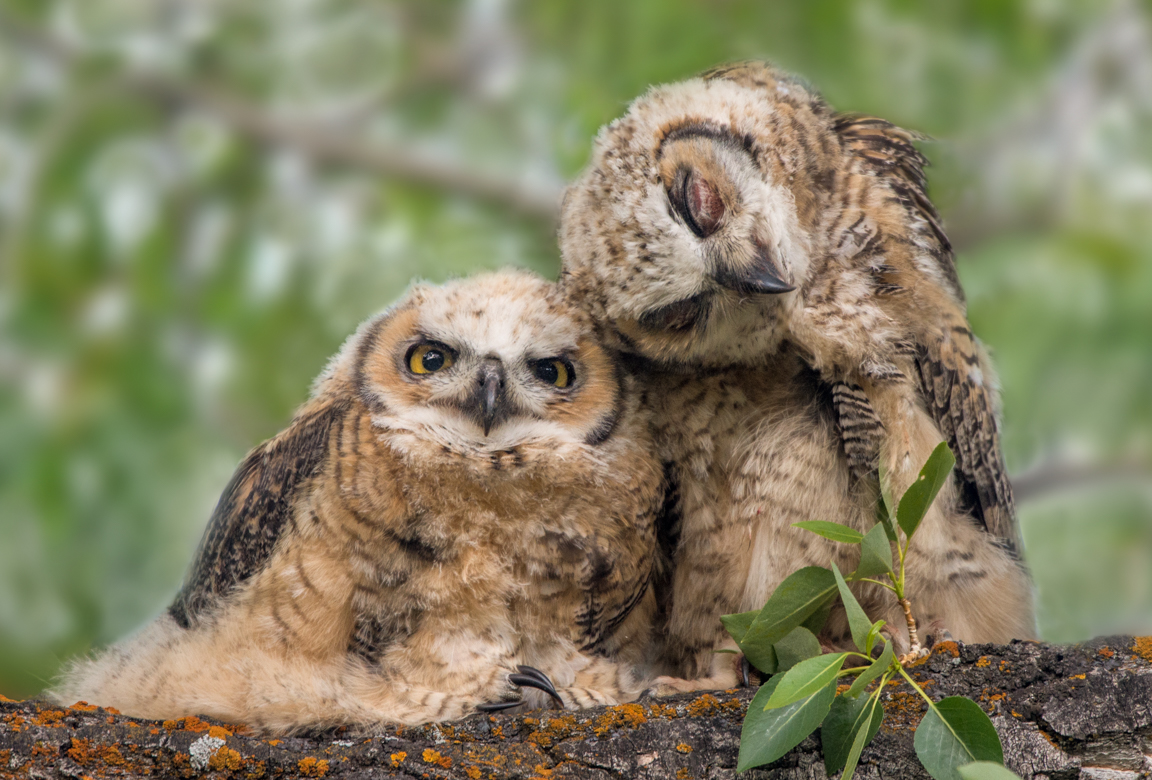 Tom Murphy Great Horned Chicks Cuddling