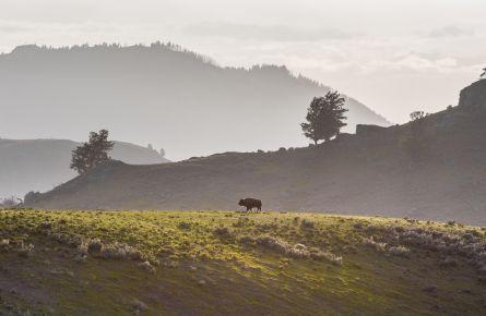 Bison Ridgeline Lamar Valley