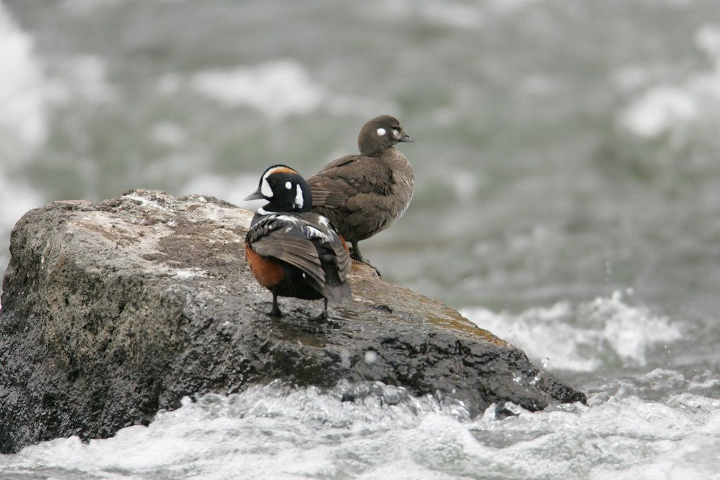 Male and female Harlequin ducks at LeHardy Rapids