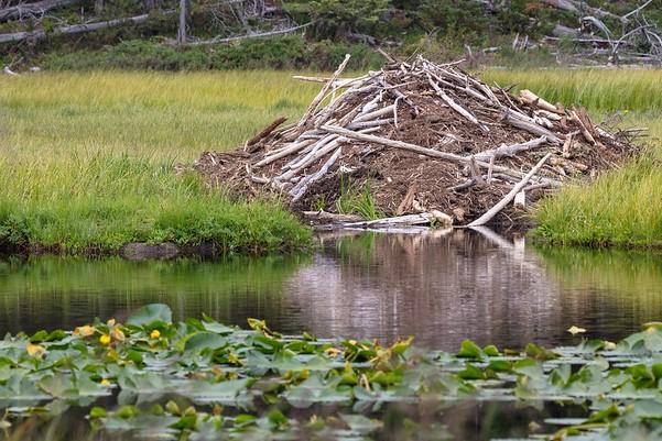 Beaver lodge near Shoshone Lake