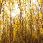 Warm fall afternoon in an aspen grove