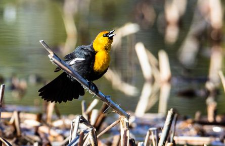 Yellow-headed-blackbird-(4)