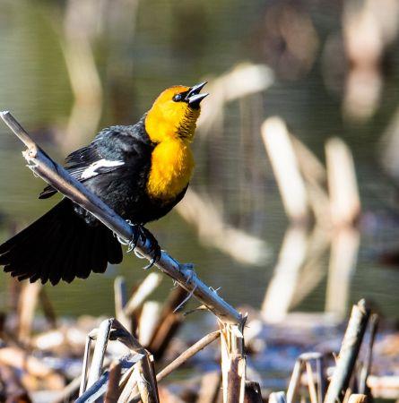 Yellowstone's Spring Birding Hotspots