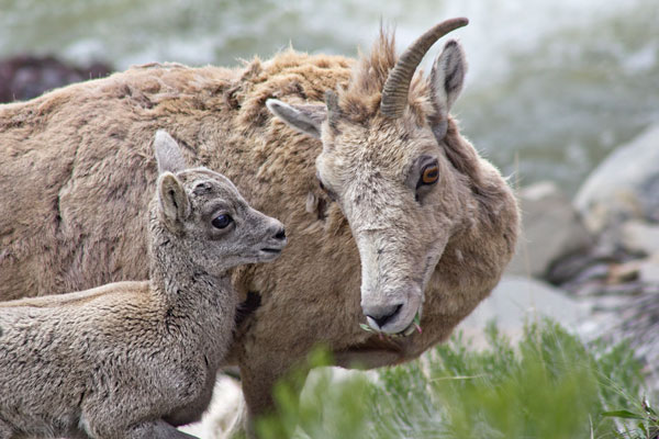 Bighorn sheep baby in Yellowstone National Park