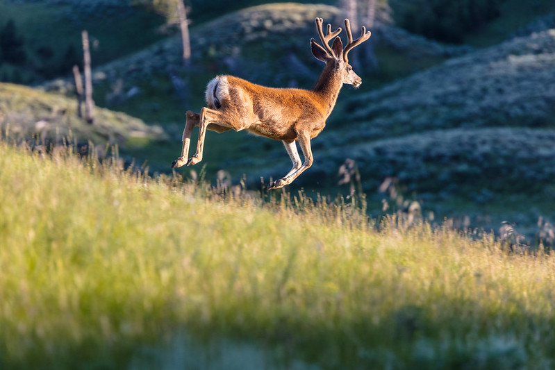 White-tailed deer in velvet