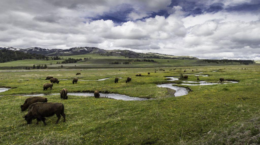Bison Lamar Valley Yellowstone