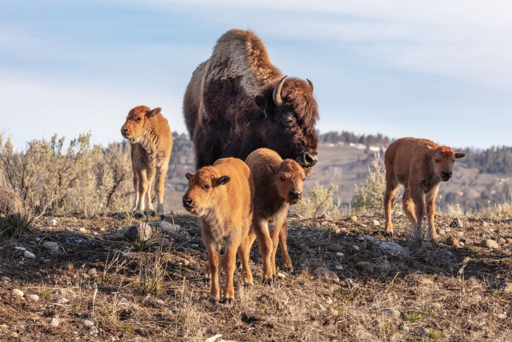 A cow bison and 4 red dogs in Lamar Valley
