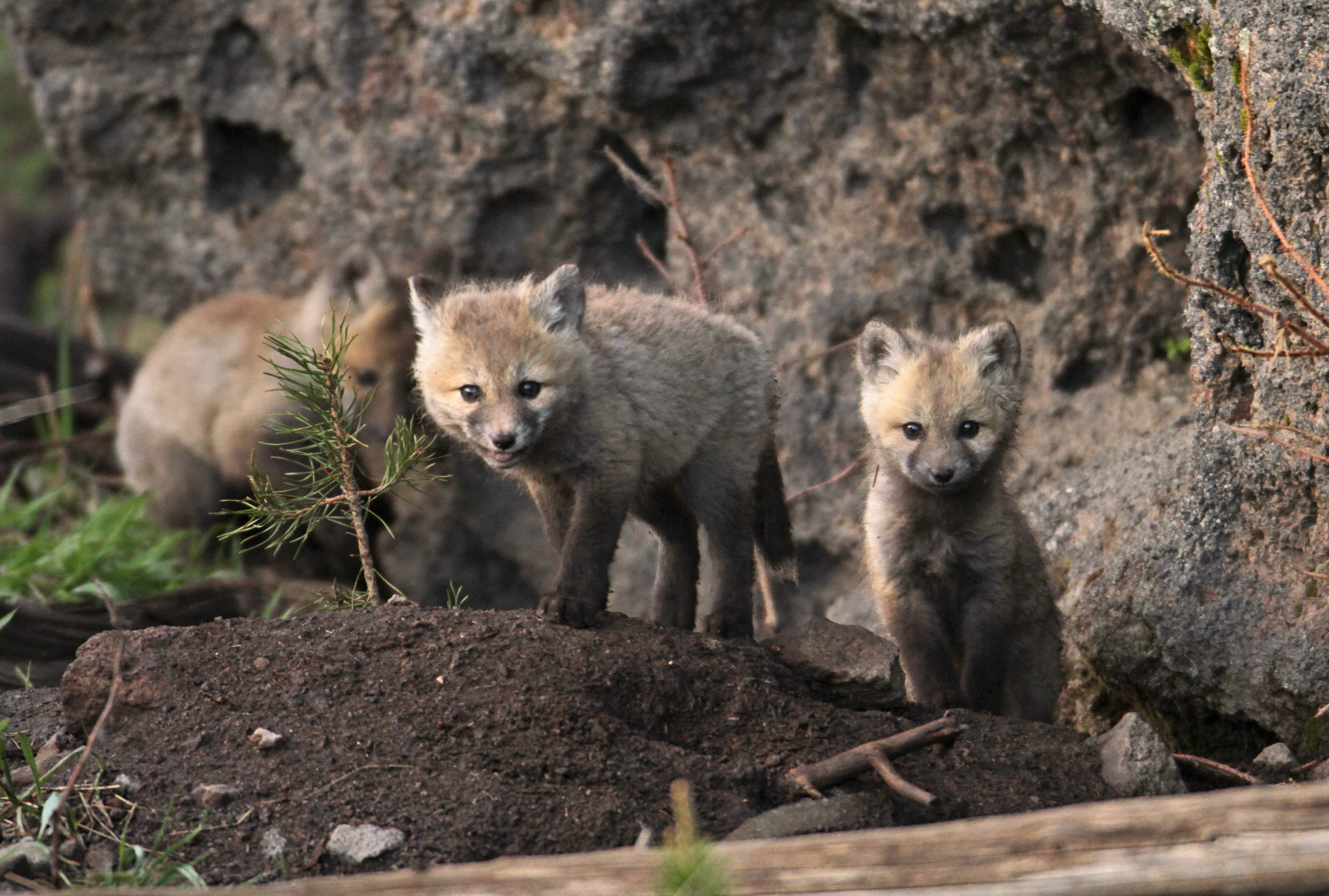 Coyote Pups Yellowstone