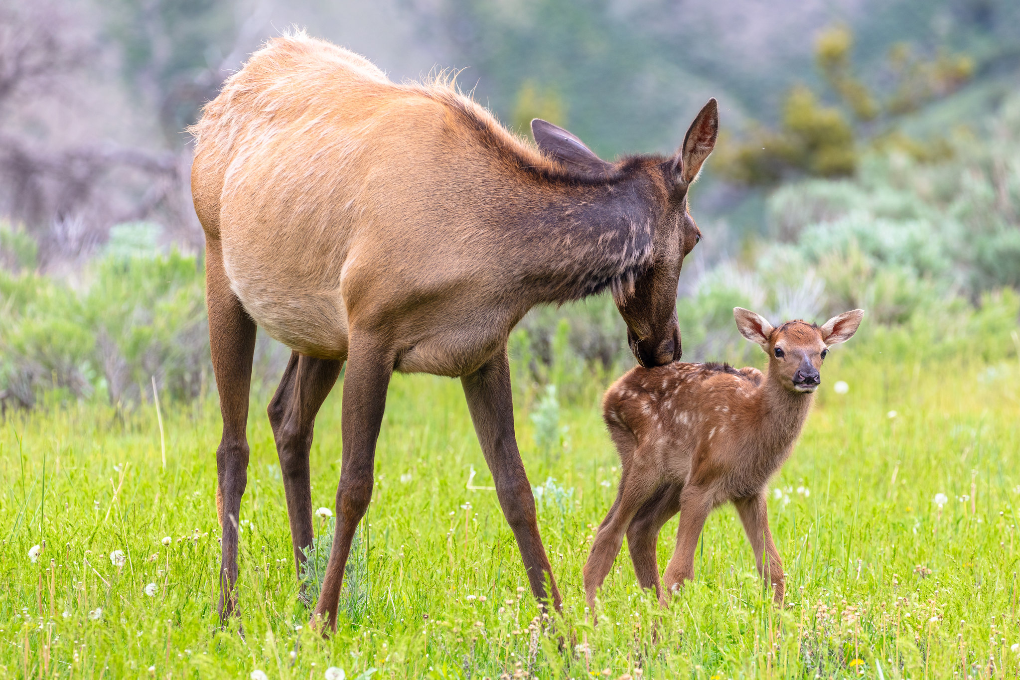 Calves Elk Spring Yellowstone