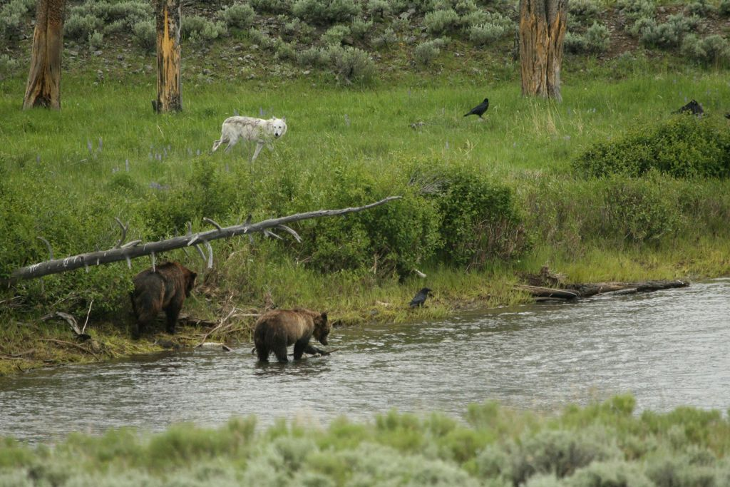 Grizzly-Bears-and-Wolf