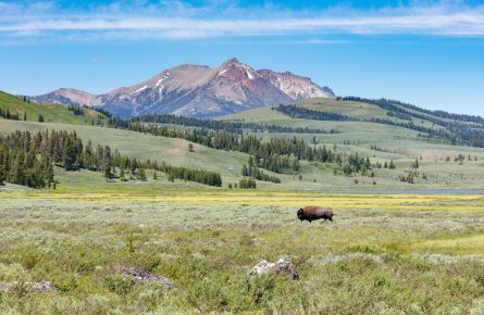 A bull bison walks across Swan Lake Flat on a summer day